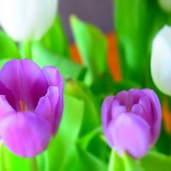 Tulpen gefotografeerd met miniatuureffect.