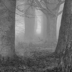 Beuken in de mist