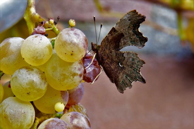 Gehakkelde aurelia van opzij - De gehakkelde aurelia met dichtgeslagen vleugels lijkt een dor blaadje tussen de druivenbladen