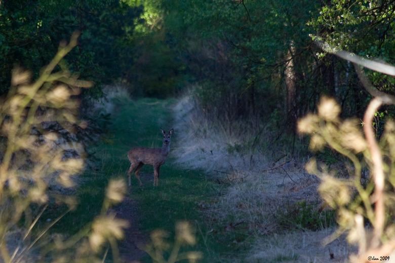 Puber - Afgelopen woensdagavond ,ik had even tijd om de bossen in te gaan en was langzaam over dit pad gekomen.<br /> Niets gezien maar het was dan o