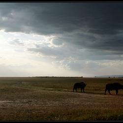 Buffels in de Mara