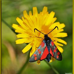 SintJan Vlinder AWD (zygaena trifoli)
