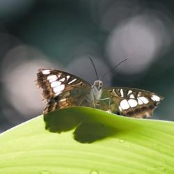 Vlinder uit Vlinders aan de Vliet