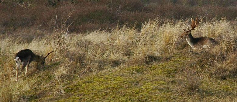 betrapt - reed gistermiddag met de auto Zandvoort uit toen ik in een flits een hert zag grazen in de duinen. Gestopt en op zoek gegaan. Had wel mijn c
