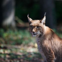 lynx in Anholter Schweiz