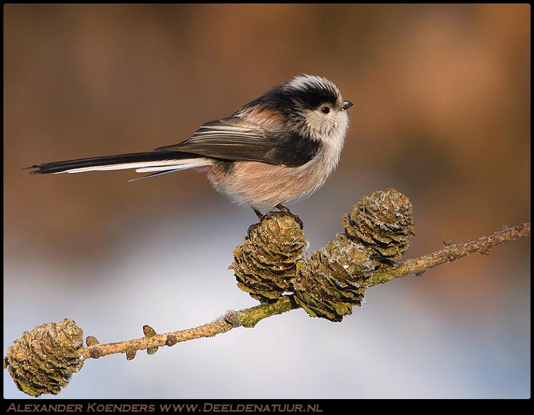 Staartmees - Een van de fraaiste kleine bos, park en tuinvogeltjes zijn wellicht deze staartmezen.<br /> <br /> Olympus E3, Zuiko ED300 f2.8