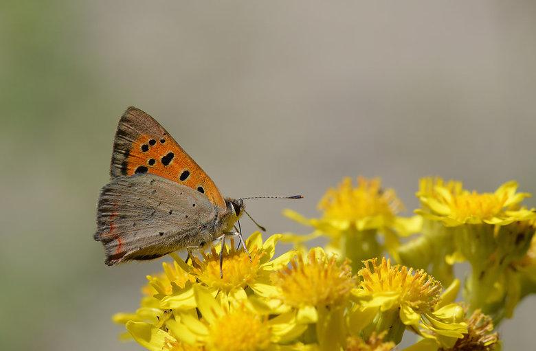 Lycaena Phlaeas (Kleine Vuurvlinder). - De kleine vuurvlinder is een kleine oranje-bruine vlinder die veel voorkomt in heel Nederland.