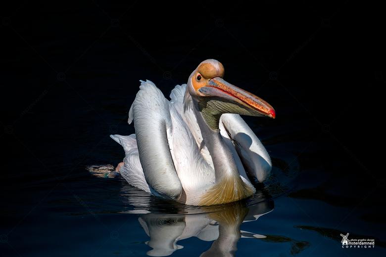 Avifauna - Nu er nog maar weinig plekken zijn om te gaan fotograferen maar eens het archief in gedoken voor een foto van een pelikaan in Avifauna.