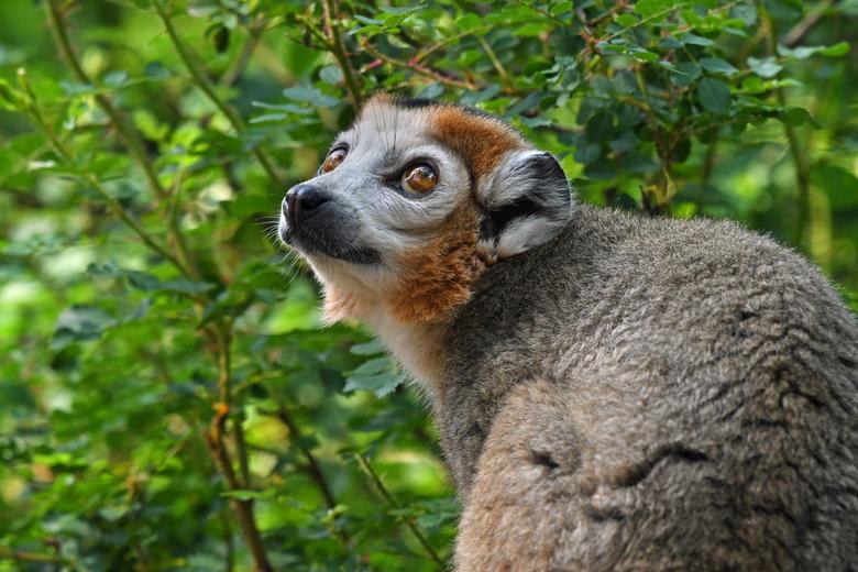 vertederend - Kroonmaki&#039;s zijn één van de vele diersoorten die endemisch zijn voor Madagaskar.<br /> <br /> Ik laat even weten dat mijn vrouw e