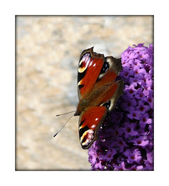 Dagpauwoog - Op een braakliggend terrein, waar vroeger een fabriek heeft gestaan, staatéén enkele vlinderplant tussen de resten van tegels en onkruid