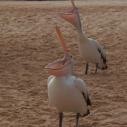 Pelikanen, Monkey Mia, Australie