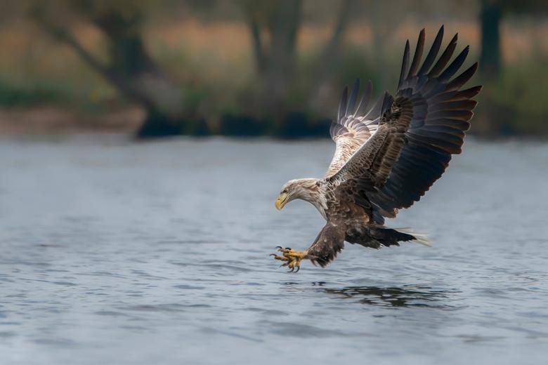 The catch - Met een enorme snelheid komt de zeearend naar beneden als hij een vis heeft gespot. Eerst gaan zijn poten hangen. De klauwen zijn dan nog