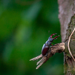 vliegend hert op boom