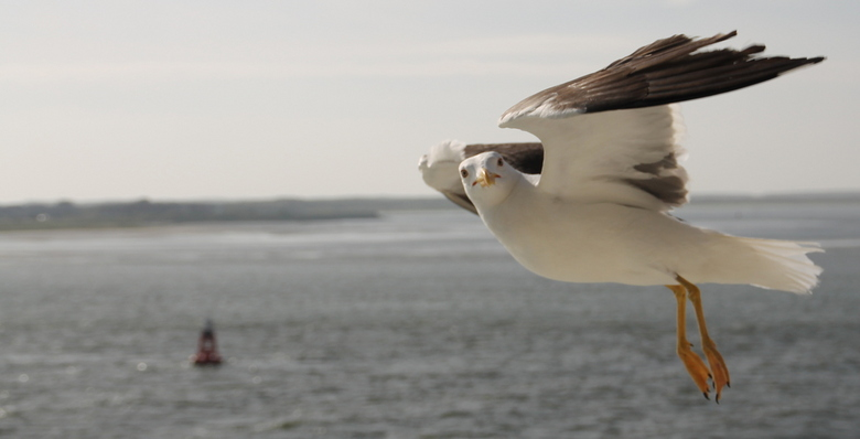 Zee meeuw  - Langs de boot vliegende zeemeeuw