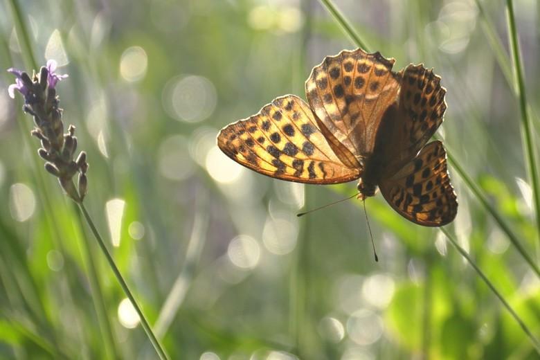 Keizersmantel Lavendel - 's Ochtends vroeg vlinders fotograferen op het typisch Zuid-Franse lavendel, heerlijk!