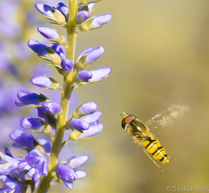 """Er Bij Zijn - De bloemen staan in volle bloei. je moet er """"bij"""" zijn. Als zweefvlieg. En als bij natuurlijk....."""