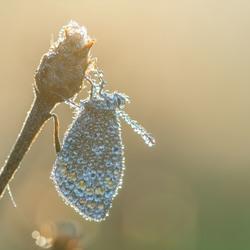 Dauwvlinder