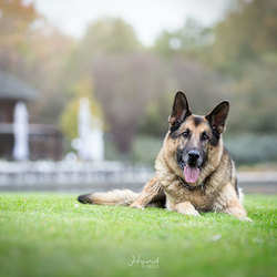 Duitse herder Limo