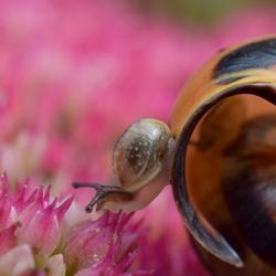 De roze wereld van een heel klein slakje