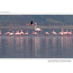 Lesser Flamingo's, Kenia