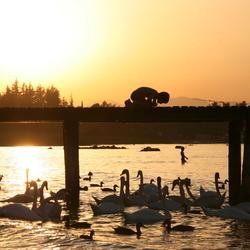 Swan Sun Set