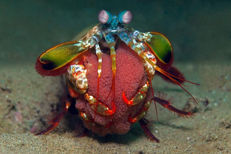 Peacock Mantis Shrimp - Peacock Mantis kreeft (20cm) met eitjes.
