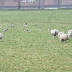 schapen en ganzen