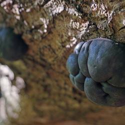 glanzende houtskoolzwam