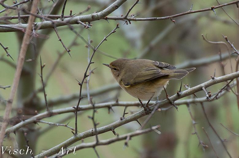 Fitis ???? of Tjiftjaf - Dit vogeltje had ik nog nooit zo gezien. Zat lekker in een doornenhaag insecten te zoeken samen met 3 andere.<br /> Na lang