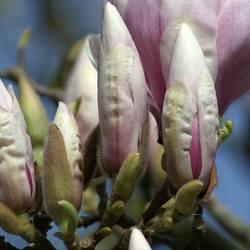 Tulpen Magnolia