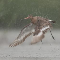 Grutto in hevige regenbui