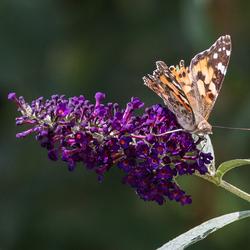 Tuin vlinder zoom1