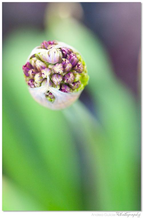 Pretty in purple - Een foto van vorig voorjaar. Ze staan nu alweer zo'n 10 a 15 cm boven de grond. Heerlijk. Ik kan niet wachten totdat ze weer o