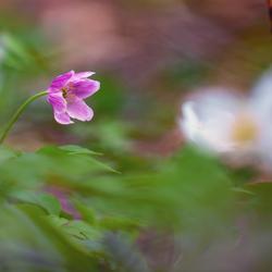 Roze bosanemoon