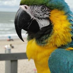 Blauw-Gele Ara Rico blijft maar naar al die strand-gangers kijken, 27-8-2018.