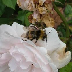 Insekt op roos