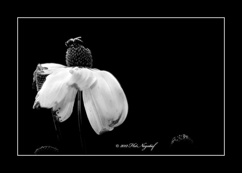 Bee on the black flower. - Zelfs een bij op een bloem kan kunst  worden...als je het maar wil zien.