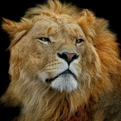 Leeuwen Portret 2