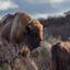 European Bison in Zandvoort-Bloemendaal No.WM