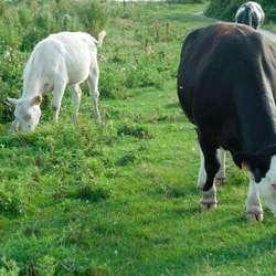 Loslopend vee