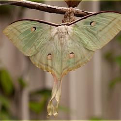 Indiase Maanvlinder