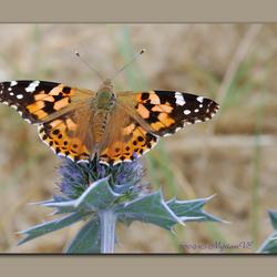 Een gewillige vlinder