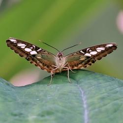 Parthenos sylvia philippinensis