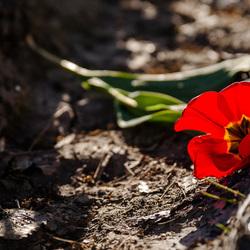 De gevallen tulp