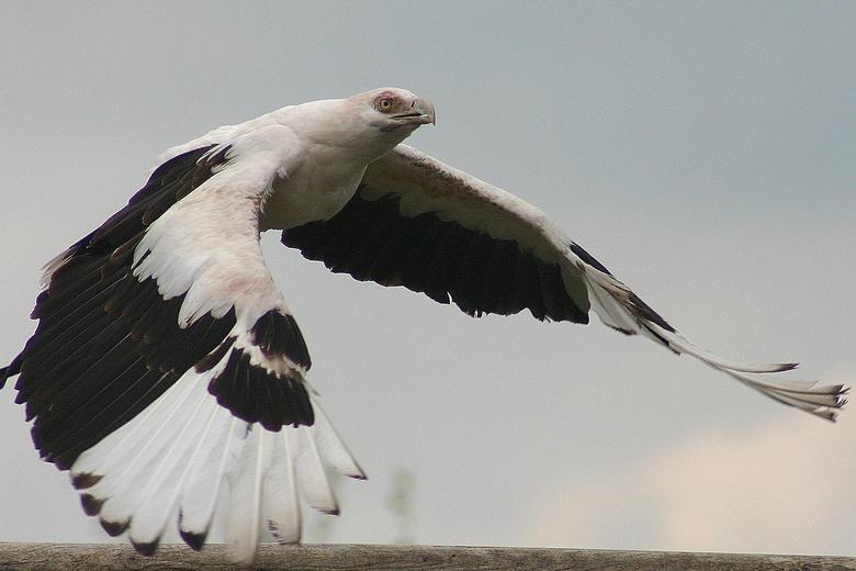 Roofvogel - Roofvogel (naam is me ontschoten) tijdens show Beekse Bergen