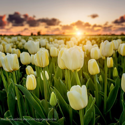 Sunset between the white tulips