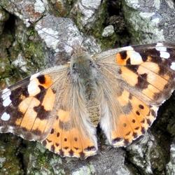 Mijn 1e vlinder in de natuur
