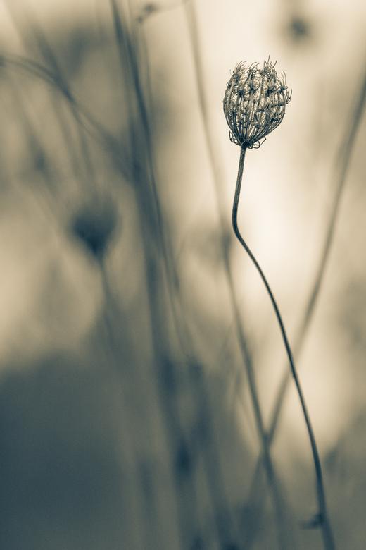 Wilde peen -