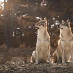 Wolfhonden bij zonsondergang