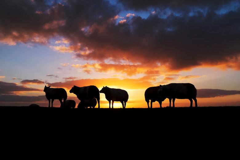 Schapen bij zonsopgang - Deze schapen zijn op Ameland geschoten bij zonsopgang. Het is stil en sereen. De schapen lijken de zon te verwelkomen.